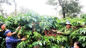 Cà phê xuất khẩu có giá giảm 14,2% khiến kim ngạch giảm 6%