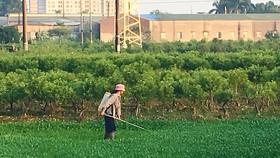 Phun thuốc trừ sâu lên rau muống tại ngoại thành Hà Nội