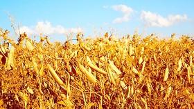1,4 triệu người Trung Mỹ thiếu lương thực
