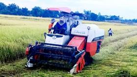 Miền Trung: Tranh thủ thu hoạch lúa