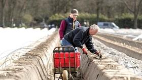 Các nước Tây Âu thiếu hụt trầm trọng nhân lực trong nông nghiệp