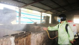 Quyết liệt dập ổ dịch tả heo châu Phi xuất hiện tại TP Đông Hà