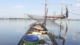 Ngư dân trúng mẻ cá mòi lớn