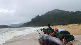 Thừa Thiên - Huế: Nỗ lực giải cứu cá voi dài 10m nhiều lần dạt bờ