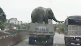 Giật mình với ô tô tải chở voi lưu thông trên quốc lộ 1A