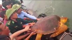 Thả rùa biển về lại môi trường tự nhiên