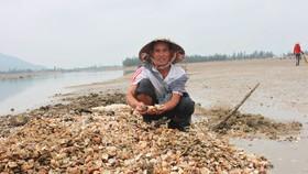 Ông Phạm Ngọc Dũng (64 tuổi, ở xóm 2, xã Cẩm Lĩnh, huyện Cẩm Xuyên) buồn rầu bên đống nghêu nuôi bị chết phải đem đi đổ bỏ ở khu vực Cồn Vạn, bãi bồi Cửa Nhượng