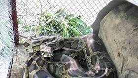 Cá thể trăn gấm vừa được bàn giao để thả về môi trường tự nhiên
