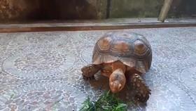 Cá thể rùa trước khi được thả về môi trường rừng tự nhiên