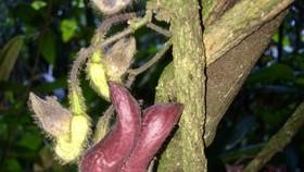 Mộc hương Vũ Quang (Aristolochia vuquangensis)
