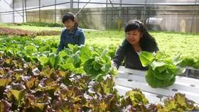 Nhiều nông dân trồng rau tại Đà Lạt được hưởng lợi từ việc liên kết sản xuất nông sản sạch