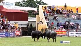 UBND TP Hải Phòng quyết định dừng việc tổ chức Lễ hội chọi trâu Đồ Sơn năm 2017