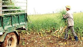 Hàng ngàn tấn củ cải trắng của nông dân xã Tráng Việt  (Mê Linh - Hà Nội) không bán được hoặc bán giá rẻ bèo