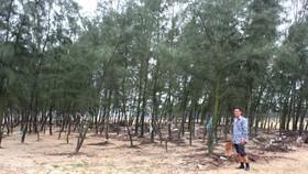 Ông Phạm Ngọc Dũng bên góc rừng phi lao xanh tốt ở bãi bồi Cửa Nhượng