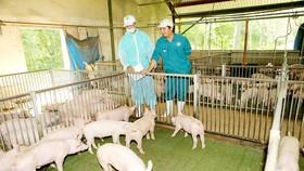 SAGRI nhập tinh heo về phối với heo Việt Nam, hướng tới chủ động về giống
