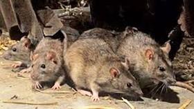 Lây virus viêm gan E từ chuột