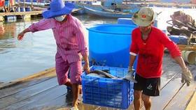 Khánh Hòa: Dân bán tháo hàng chục ngàn con cá bớp nuôi