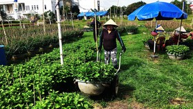 Cúc vụ tết ở 2 phường Bình Định và Nhơn Hưng (thị xã An Nhơn, tỉnh Bình Định) đang chết dần vì giống dỏm