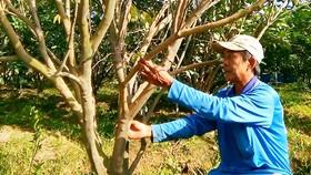 Nông dân huyện Lai Vung (Đồng Tháp) khốn đốn  vì cây có múi bị dịch bệnh