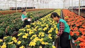 Trồng hoa chậu công nghệ cao tại Công ty Dalat Hasfarm. Ảnh: ĐOÀN SƠN