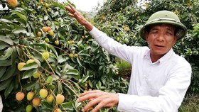 Nông dân ở xã Giáp Sơn, huyện Lục Ngạn (Bắc Giang) nuôi hy vọng vào vụ vải thiều năm 2019