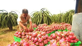 Central Group Việt Nam sẽ tiêu thụ 500 tấn thanh long Bình Thuận