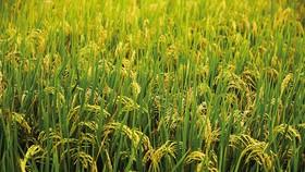 Vụ lúa hè thu 2019 khu vực Nam bộ xuống giống hơn 1,64 triệu ha, giảm 46.000ha so với cùng kỳ