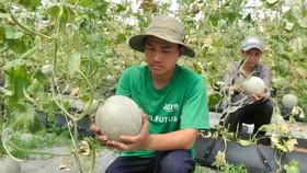 Dưa lưới nông sản có giá trị cao được trồng tại TPHCM. Ảnh: CAO THĂNG