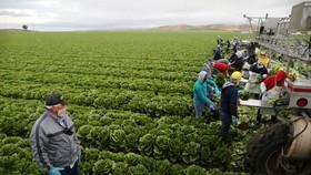 Sản xuất nông nghiệp tại Australia. Nguồn: REUTERS