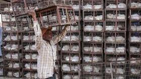Ấn Độ đã trải qua các đợt bùng phát dịch cúm gia cầm trong những thập kỷ gần đây, khiến hàng triệu con gia cầm bị tiêu hủy. Ảnh minh họa: EPA