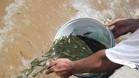 Thả 41.000 con cá giống vào sông Hương