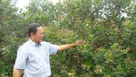 Vườn điều đạt chuẩn organic, không sử dụng thuốc trừ sâu của ông Dụng Quý Đông ở huyện Đồng Phú, tỉnh Bình Phước