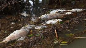 Nghệ An: Cá chết bất thường trên sông Con
