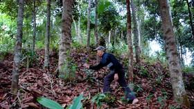 Quảng Ngãi: Phục hồi rừng quế bản địa của người Cor