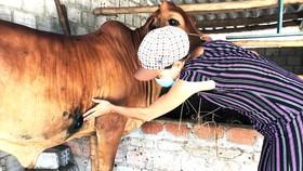 Người dân ở xã Phổ Châu  (thị xã Đức Phổ, Quảng Ngãi) nỗ lực  chăm sóc bò bị bệnh viêm da nổi cục. Ảnh: XUÂN HUYÊN