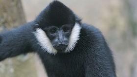 Vườn Quốc gia Vũ Quang tiếp nhận cá thể vượn đen má trắng quý hiếm