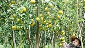 Giữ vườn trái cây đặc sản Lái Thiêu. Ảnh minh họa
