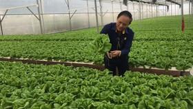 Những trang trại rau sạch