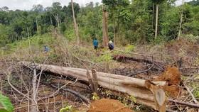 Hiện trường vụ phá rừng tự nhiên do Công ty TNHH MTV Lâm nghiệp Đạ Tẻh quản lý (thôn Tôn K'Long, xã Quảng Trị, huyện Đạ Tẻh)