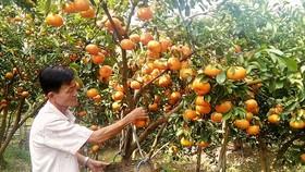 Quýt hồng Lai Vung được cung ứng cho thị trường tết khắp nơi. Ảnh: Huỳnh Lợi