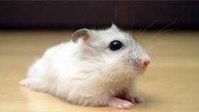 Nở rộ trở lại thú nuôi chuột cảnh