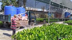 Người dân huyện chợ Lách (Bến Tre) phải mua nước ngọt  để tưới cho cây giống. Ảnh: TRUNG KHÁNH