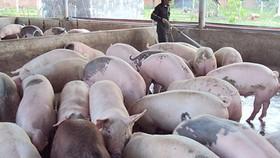 Bình Thuận: Xử lý nghiêm trang trại chăn nuôi heo gây ô nhiễm