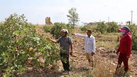 Vườn cây của các hộ dân cận kề mỏ đá bị hư hỏng hoa và trái non vì khói bụi bám vào