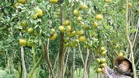 ĐBSCL: Trái cây được giá