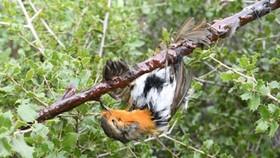 Pháp: Cấm hành vi bẫy chim bằng keo dính