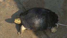 Lần đầu tiên Vườn quốc gia Vũ Quang tiếp nhận cá thể rùa Răng quý hiếm