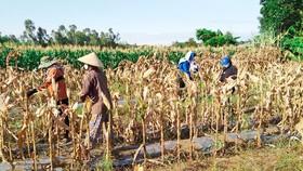 Lập đường dây nóng hỗ trợ nông dân thu hoạch