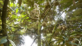 Phân bón Phú Mỹ giúp tăng giá trị trái sầu riêng Đắk Lắk