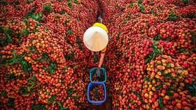 Lo thị trường cho 180.000 tấn vải thiều Bắc Giang giữa đại dịch